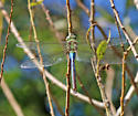 Green Darner eating lunch - Anax junius