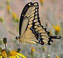 Giant Swallowtail - Papilio rumiko - male