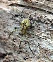 Small Yellow Spider - Dolomedes albineus