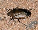 True Bug? Brown Stink Bug? - Chlorochroa senilis