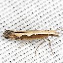 Diamondback Moth - Hodges #2366 - Plutella xylostella