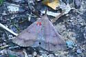 Moth Chocolate Renia (with parasites) 8380– Renia nemoralis - Renia nemoralis