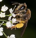 Bee IMG_1306 - Andrena wilkella