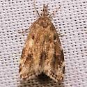 Moth - Eido trimaculella