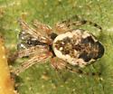 Trashline Orbweaver - Cyclosa conica - male