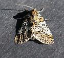Owl-eyed Bird Dropping Moth Cerma cora 9061 - Cerma cora