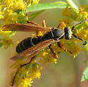 What Paper Wasp species? - Polistes fuscatus - male