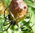 Femal Argiope with completes egg sac - Argiope aurantia - female