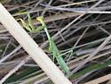 Light Green Mantid - Stagmomantis carolina - female