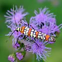 Ailanthus Webworm - Atteva aurea