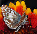 Common or White Checkered-Skipper - Pyrgus - male