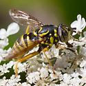 Spilomyia foxleei or S. interrupta? - Spilomyia foxleei