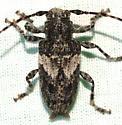 Aegomorphus arizonicus? - Aegomorphus arizonicus