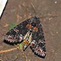 Yellow-headed cutworm - Spiramater lutra - female