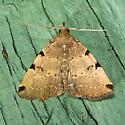 Zanclognatha lituralis - Lettered Zanclognatha - Hodges#8340 - Zanclognatha lituralis