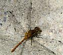 Species- dragonfly was eating what looked like a skipper butterfly