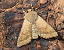 Unknown Moth - Orthosia
