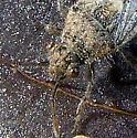 Unknown Hemiptera - Arhyssus