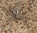 Running Crab Spider - Thanatus - male
