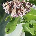 spider?  beetle?   - Tutelina elegans