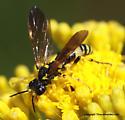 Wasp - Tenthredo basilaris - female