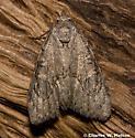Moth - Meganola minor - female