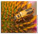 Flower beetle on Purple Coneflower - Chauliognathus pensylvanicus