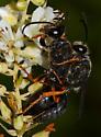 Large black wasps - Sphex nudus