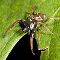 jumping spider - Zygoballus sexpunctatus - male