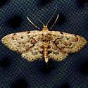 moth - Idaea micropterata