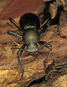 121632 Iphthiminus - Coelocnemis sulcata
