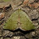 Chloraspilates minima - Hodges #6701 - Chloraspilates minima - male