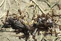Ants Swarming Dead Grasshoppers - Myrmica