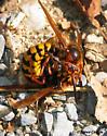 European Hornet (Vespa crabro) - Vespa crabro