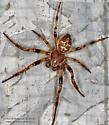 Spider - Larinioides cornutus