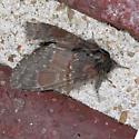 7921 - Chocolate Prominent - Peridea ferruginea
