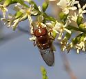 Unknown fly on Arizona Kidneywood - Copestylum