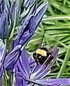 Queen Bombus vosnesenskii? - Bombus californicus - female