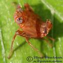 Leafhopper 03 - Jikradia olitoria