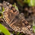 Brown Skipper - Erynnis horatius