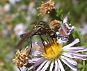 fly - Lepidophora