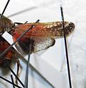 Cicadellidae: Genus?  species? - Cyrpoptus