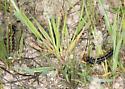 Euphydryas caterpillar? - Junonia coenia
