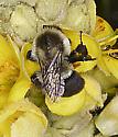 Bombus visiting mullein (Verbascum thapsus) - Bombus impatiens