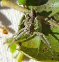 Tmarus female - Tmarus angulatus - female