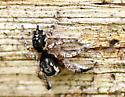 Phidippus, not audax - Habronattus hirsutus - male