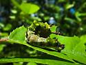 Viceroy or White Admiral larvae?? - Limenitis