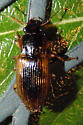 unknown beetle - Anisodactylus discoideus