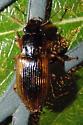 unknown beetle - Anisodactylus discoideus