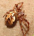 Araneidae, Spotted Orbweaver, dorsal-lateral - Neoscona arabesca